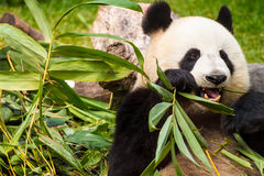 Giant panda. Is eating green bamboo leaf royalty free stock images