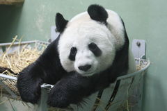 Giant Panda Stock Photo