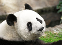 Giant Panda Face Shot, side profile, looking back at camera royalty free stock photo