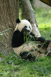 Giant panda in a field Royalty Free Stock Photography