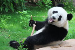 A Giant Panda. A fluffy panda is eating bamboo leaves stock images