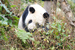 Giant Panda in the Forest, Chengdu, China Stock Photography