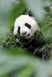 Giant Panda in the Forest (Portrait) Royalty Free Stock Photos