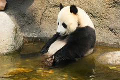 Giant panda having a bath Royalty Free Stock Image