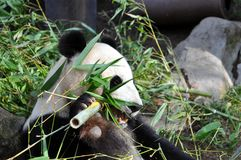 Giant panda having lunch at San Diego zoo. View of a beautiful giant panda having lunch at San Diego zoo Stock Photo