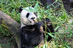 Giant panda having lunch at San Diego zoo Royalty Free Stock Images
