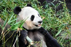 Giant panda having lunch at San Diego zoo Stock Photography