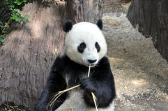 Giant panda having lunch at San Diego zoo. View of a beautiful giant panda having lunch at San Diego zoo Stock Image
