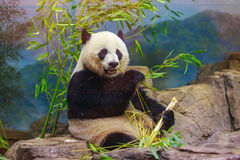 Giant Panda. Hungry giant panda bear eating bamboo Royalty Free Stock Images