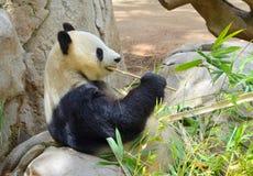 Giant Panda. An image of a giant panda Royalty Free Stock Photos