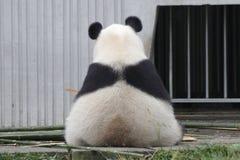 Free Giant Panda In China Stock Photo - 132711720