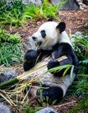Giant Panda In Zoo Environment Royalty Free Stock Image