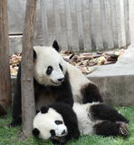 Giant panda with its cub. In playing Stock Photography