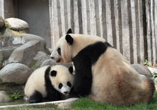 Giant panda with its cub. In playing Royalty Free Stock Image