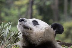 Giant Panda Sniffing: Ah the Sweet Smell of Bamboo Royalty Free Stock Photo