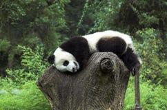 Giant Panda juvenile resting on tree stump royalty free stock photos