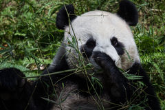 Giant Panda Kai Kai Royalty Free Stock Image
