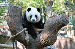 Giant panda linping. Giant panda name linping in the chiangmai zoo Stock Photo