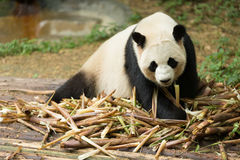 The giant panda looking bamboo Royalty Free Stock Photo