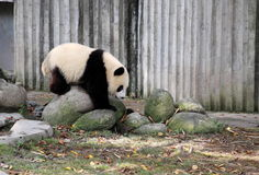 Giant panda. A lovely panda is playing in Chengdu Research Base of Giant Panda Breeding which is a non-profit research and breeding facility for giant pandas and Royalty Free Stock Photo