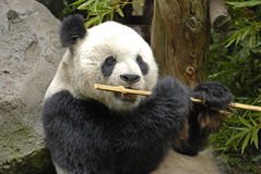 Giant Panda At Lunch. Image of a Giant Panda eating a bamboo stick.  Photo taken at the San Diego Zoo Royalty Free Stock Photo