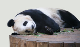 Giant Panda lying down close up Stock Photos