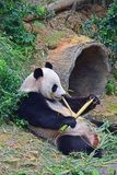 Giant panda lying down while enjoying eating her evening bamboo snack