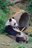 Giant panda lying down while enjoying eating her evening bamboo snack royalty free stock photo