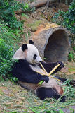 Giant panda lying down while enjoying her evening bamboo snack Stock Photo
