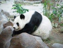 Giant Panda lying on a rock resting Royalty Free Stock Photo