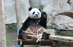 Giant Panda, named Chuang Chuang, in Chiangmai Zoo, Thailand Stock Photo