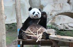 Giant Panda, named Chuang Chuang, in Chiangmai Zoo, Thailand. Giant Panda, named Chuang Chuang eating bamboo, in Chiangmai Zoo, Thailand Stock Photo