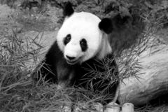Giant panda at National Zoo, Malaysia stock images
