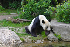Giant panda near the river in wildlife stock photos