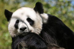 Giant panda (panda bear) Royalty Free Stock Image
