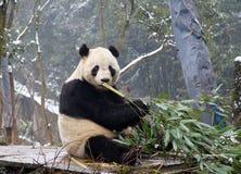 Giant panda. A giant pandas is eating bamboo Stock Photos