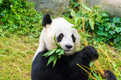 Giant Panda Stock Photography