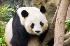 Giant Panda Royalty Free Stock Photos