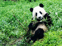Giant Panda Play Branch. A giant panda was playing a branch Stock Images