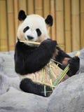 Giant panda portrait Royalty Free Stock Photos