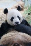 Giant Panda. Portrait of a giant panda inzoo Stock Image
