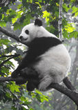 Giant Panda Stock Image