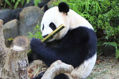 Giant Panda 2 Stock Photo