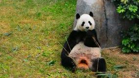 Giant panda stock footage