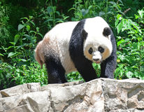 A Giant Panda. The giant panda is a resident of forests in South China. The panda is a beautiful animal with thick black and white fur Royalty Free Stock Photography