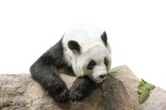Giant Panda resting Stock Images