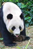 Giant panda resting with her tongue out Stock Images