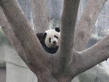 Giant panda resting on tree Royalty Free Stock Images