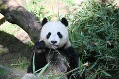 Giant Panda. A giant panda rests against a stump eating bamboo. Photographed in S. Diego Zoo Royalty Free Stock Photos