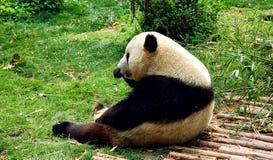 Giant panda sat in grass Stock Photo